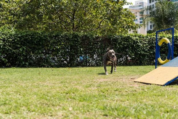 公園で遊んでいるピットブル犬。彼が運動するためのスロープ、タイヤ、障害物のようなおもちゃのある犬の場所。