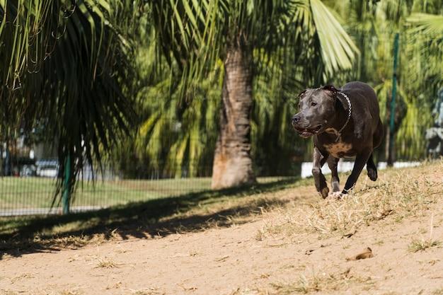 Питбуль собака играет в парке. питбуль использует солнечный день, чтобы повеселиться.