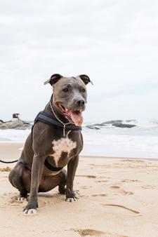 海と砂を楽しみながら、ビーチで遊ぶピットブル犬。晴れた日。セレクティブフォーカス。