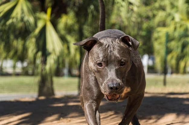 Pit bull dog playing in the park. the pitbull takes advantage of the sunny day to have fun.