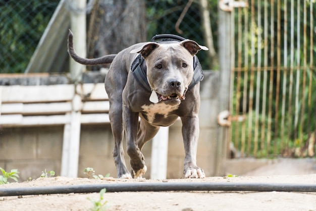 Pit bull dog running and playing on the land of a house under construction. selective focus.
