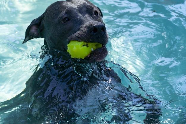 Питбуль плавает в бассейне в парке. солнечный день в рио-де-жанейро.