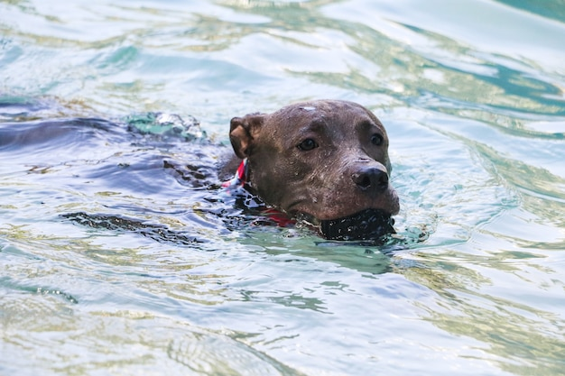 Pit bull dog swimming in the pool in the park. sunny day in rio de janeiro.