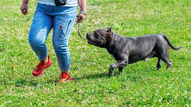 公園を歩いている間、ジーンズの女性の近くにピットブルテリア犬。幸せな犬は彼の愛人と一緒に走る