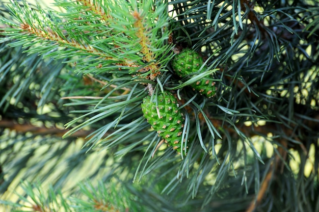 新鮮な松ぼっくりと緑の松葉を持つリギダマツの木