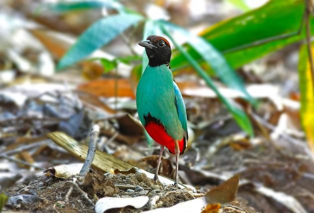 フード付きピッタpitta sordidaタイの美しい鳥