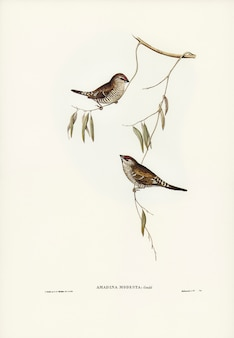 Plain-coloured finch (amadina modesta) illustrated by elizabeth gould