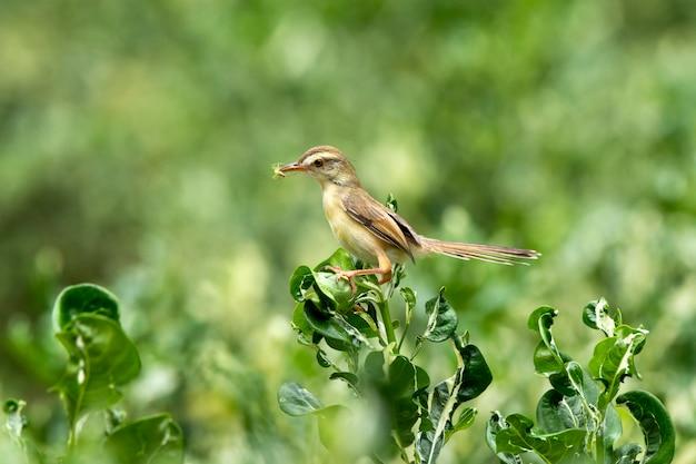 Plain prinia (prinia inornata) perches on a polyscias tree