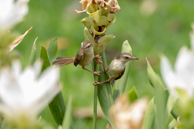 Plain prinia (prinia inornata) perches on a white curcuma alismatifolia tree in the green background