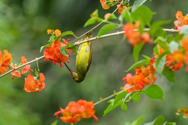 Plain sunbird(anthreptes simplex) with the flower in nature