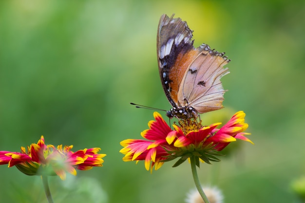 Plain tiger butterfly on the flower
