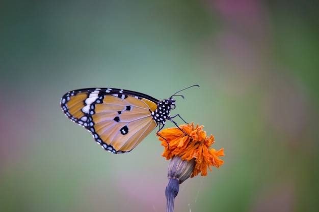Plain tiger butterfly  on flower