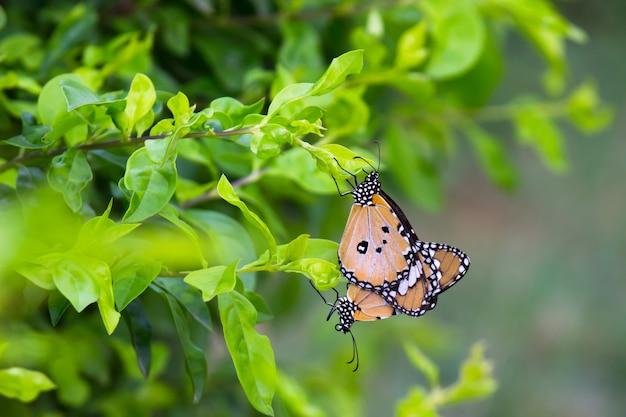 柔らかい背景を持つ花の植物に交尾するカバマダラdanauschrysippus蝶