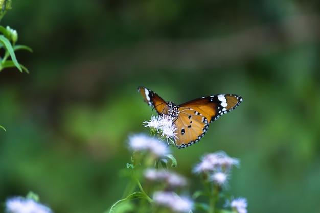 春の間に花の植物から蜜を飲むカバマダラdanauschrysippus蝶