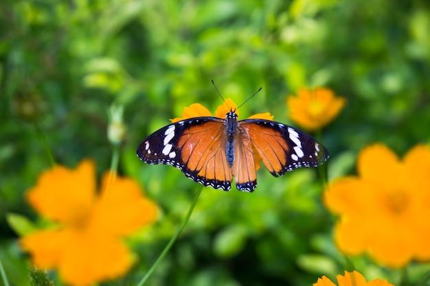 被子植物から蜜を飲むカバマダラdanauschrysippus蝶