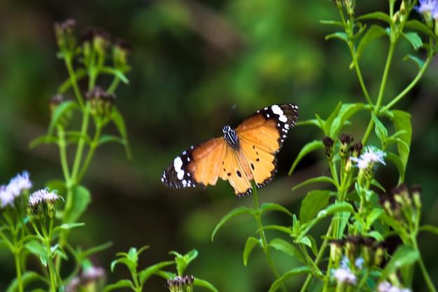 カバマダラdanauschrysippus蝶の蜜を飲む花の植物