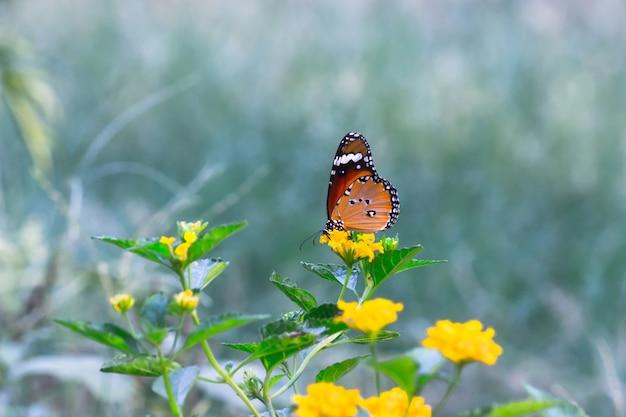 庭の花植物を食べているカバマダラdanauschrysippus蝶