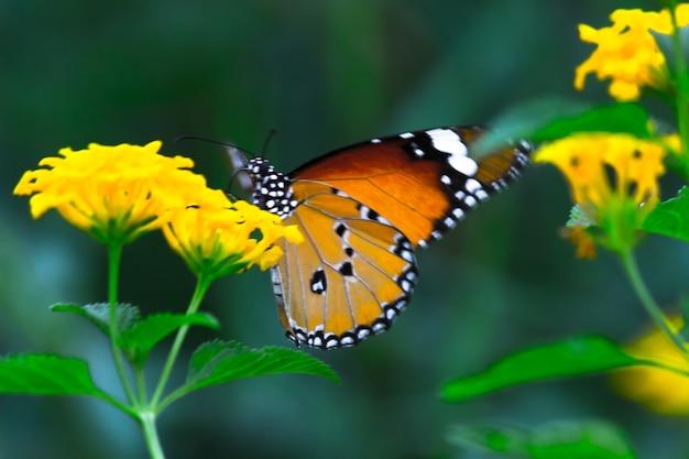 自然の緑の背景で花の植物を食べているカバマダラdanauschrysippus蝶