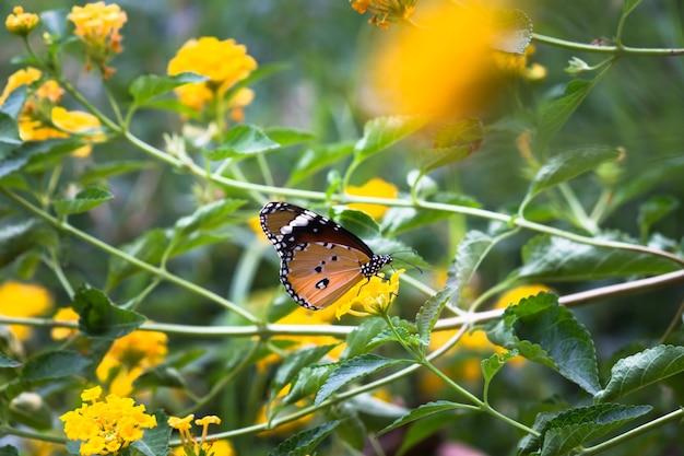 花の植物で休んでいるカバマダラdanauschrysippus蝶