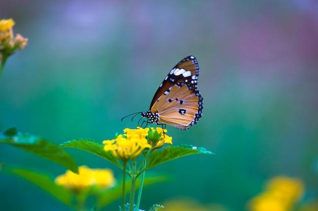 自然の緑の背景で植物の上に休んでいるカバマダラdanauschrysippus蝶
