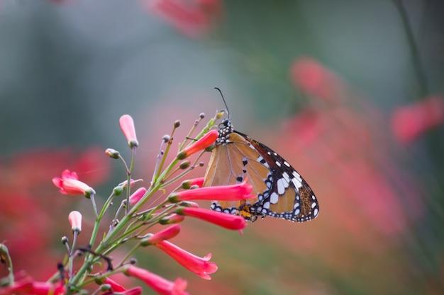 春の間に自然の中の花を訪れるカバマダラdanauschrysippus蝶