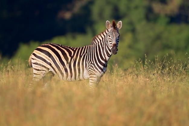 Равнины (burchells) зебры (equus burchelli), южная африка