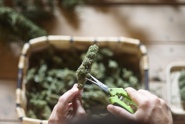 Plane detail of dry hemp bud of cbd with hands and scissors.