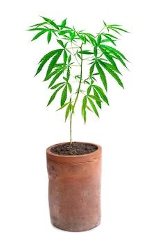 흰색 바탕에 냄비에 자라는 식물 대마초