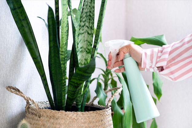 Уход за растением в домашних условиях. опрыскивание листьев растений. молодая женщина, ухаживающая за комнатными растениями