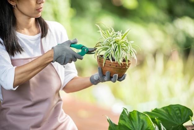Уход за растениями. обрезка для дальнейшего пышного цветения. женские руки срезают ножницами ветки и пожелтевшие листья декоративного растения. женщина обрезка в своем саду.