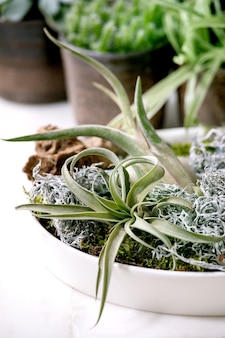 ティランジアの空気、コケ、さまざまな多肉植物のエオニウム、白い大理石のテーブルの上に立っているセラミックポットのサボテンとの植物組成。