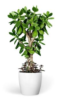 흰색 배경에 고립 된 화분에 식물 crassula