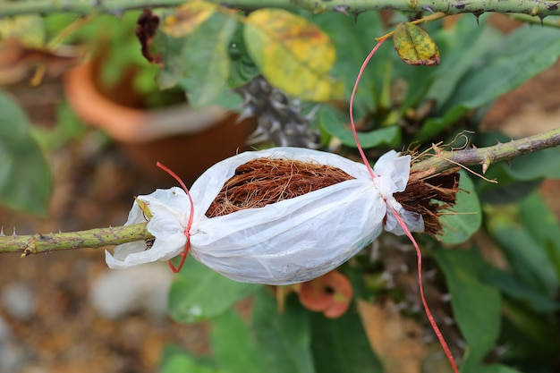 Plant grafting and budding rose
