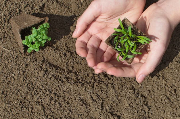 Plant in hands. micro greens seedlings in soil . healthy organic food concept