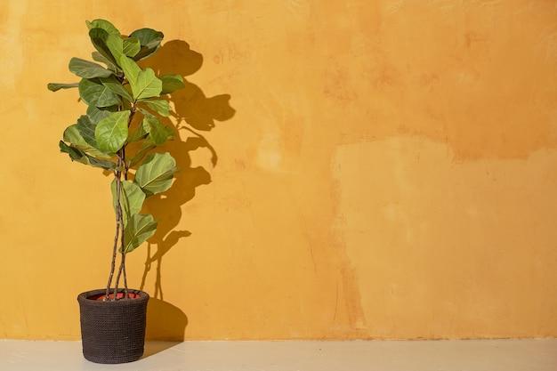 노란색 벽 테이블에 실내에 심습니다. 벽에는 나뭇잎의 아름다운 그림자가 있습니다. ficus lyrata의 아름다운 잎.