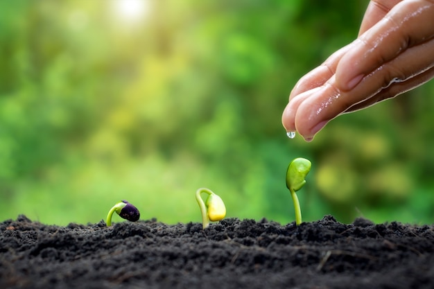 비옥한 토양에서 발아 순서대로 자라는 묘목에 식물 유지 및 물주기