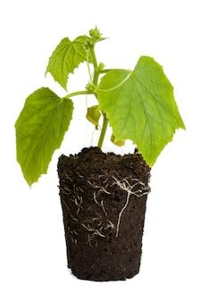 흰색 배경에 뿌리가 분리된 어린 오이 식물