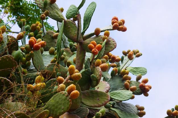 Plant of opuntia ficus-indica