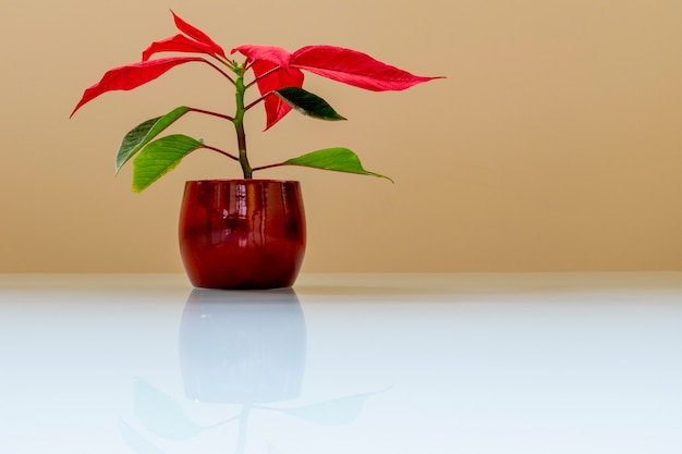 Plant pot with red and green leaves, on white glass table