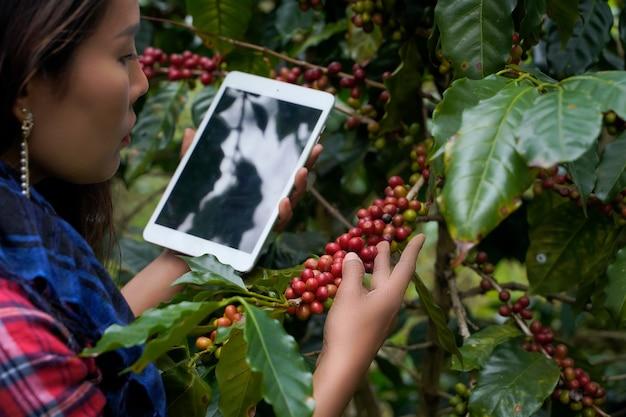 Исследователи растений используют ноутбук для просмотра статистики роста кофе арабика в районе мае ван, провинция чиангмай, таиланд.
