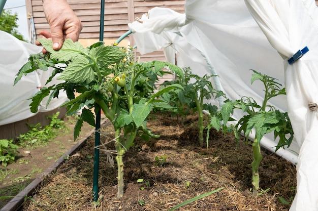Сажать помидоры в летнем саду.