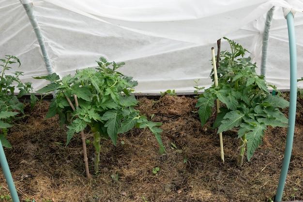 여름 정원에 토마토를 심으세요.