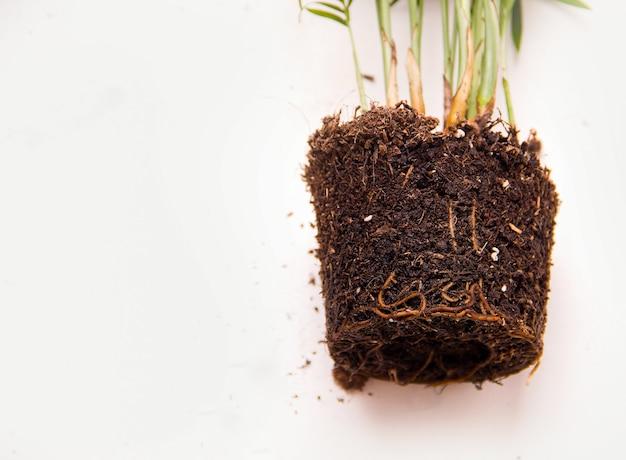 Концепция пересадки растений. корни крупным планом