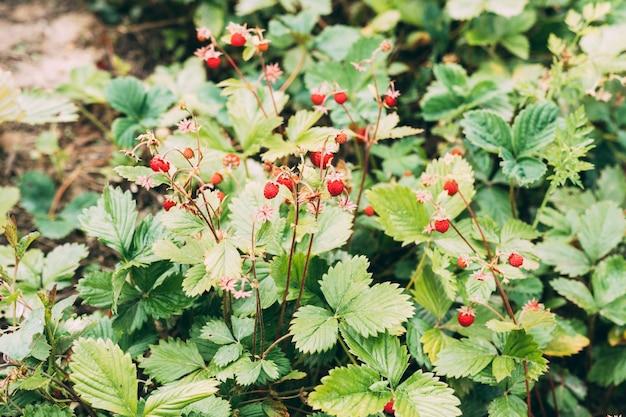 Plant of wild strawberry