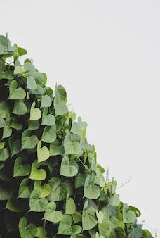 토양에서 자라는 녹색 '마음'이있는 식물