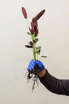벽의 배경에 손에 ktenante 뿌리를 심습니다. 식물 이식 개념.