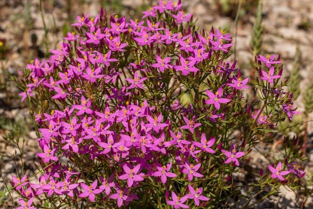 春に小さなライラックの花がたくさん咲く植物