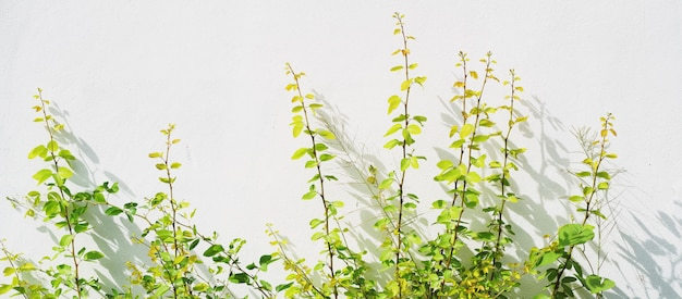 Plant with shadow on white wall