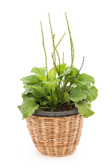 Plantago major or greater plantain isolated on white background.