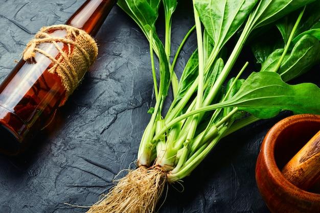Plantain in herbal medicine